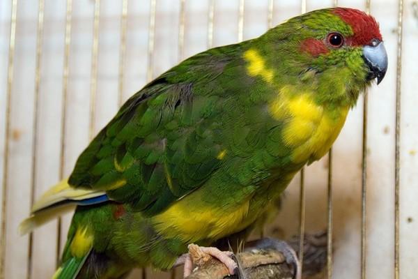 Краснолобый попугай
