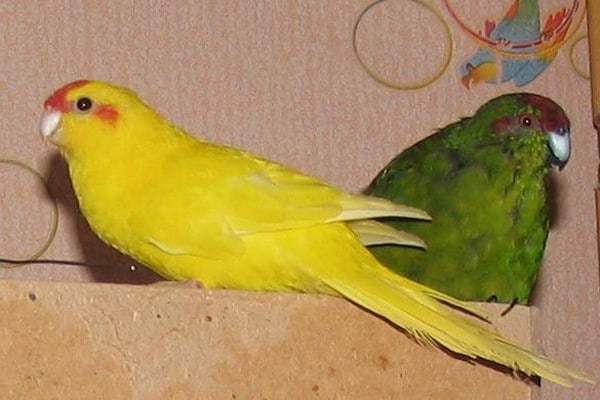 Пара редких попугаев