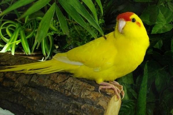 Желтый попугай