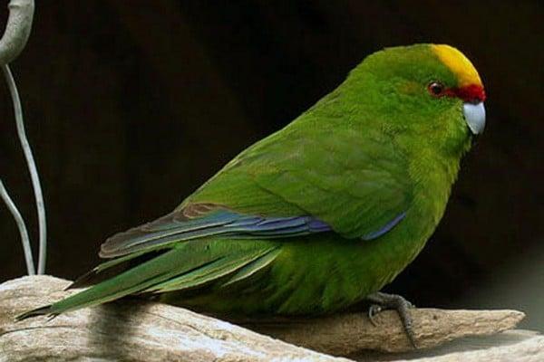 Желтолобый попугай