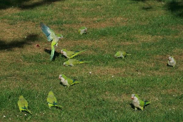 Стайка попугаев
