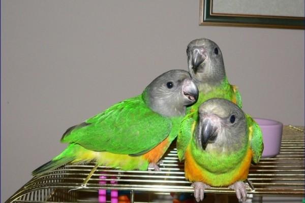 Сенегальские попугаи