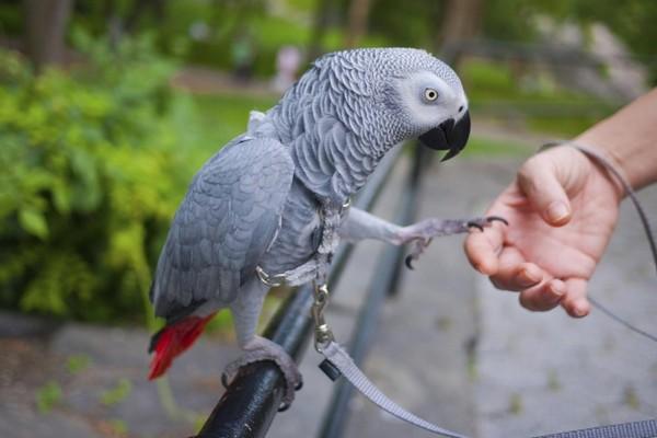 Попугай на прогулке