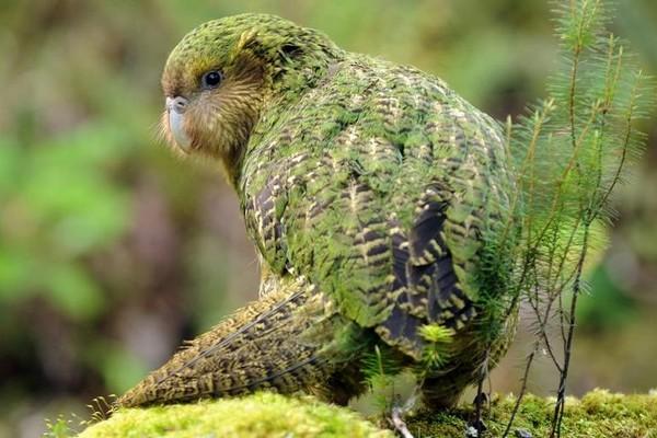 Фото большого совиного попугая
