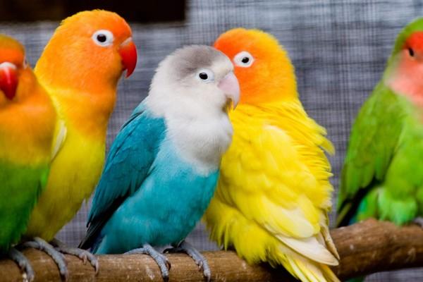 Попугаи пестрых окрасов