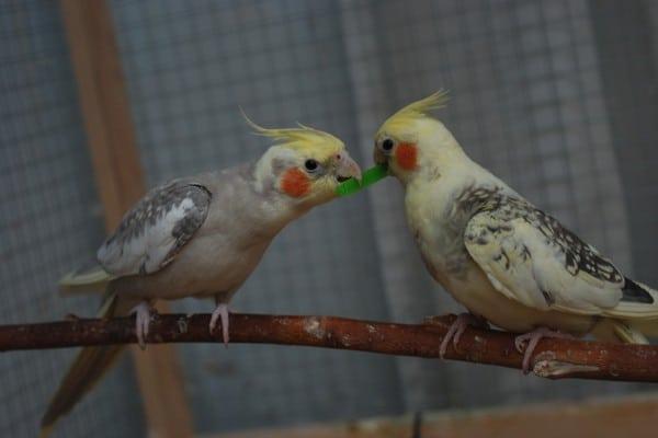 Кормежка попугаев