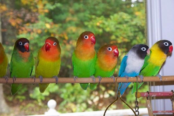 Сколько живут попугаи 72