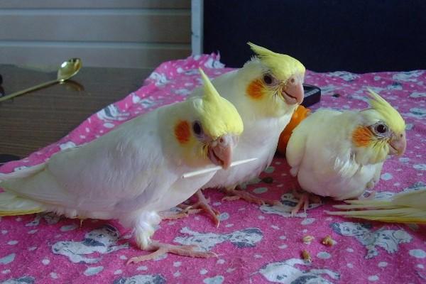 Окраска попугаев