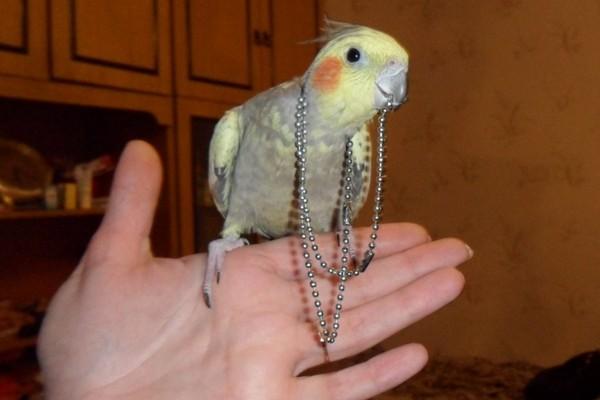 Самка попугая