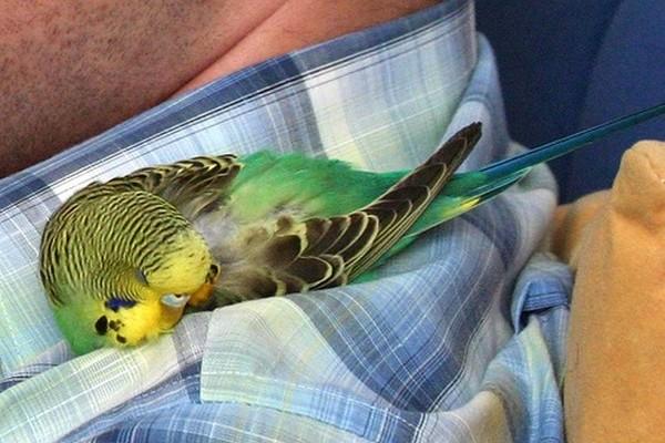 Уснувший на человеке попугай