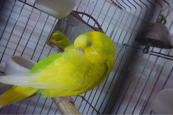 Спрятавший клюв попугай