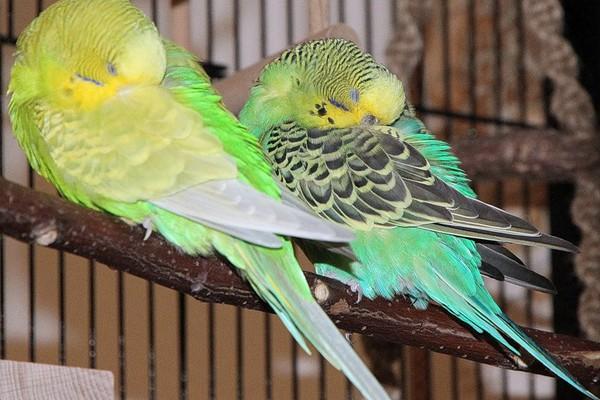 Пара сонных птиц