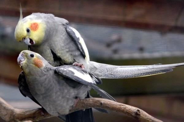 Спаривание птиц