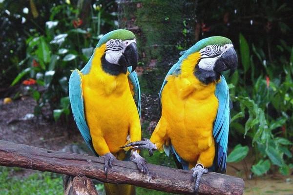 Сидящие рядом ара