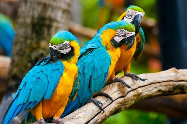 Прихорашивающийся попугай