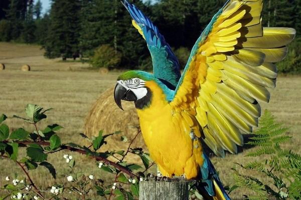 Взволнованный ара