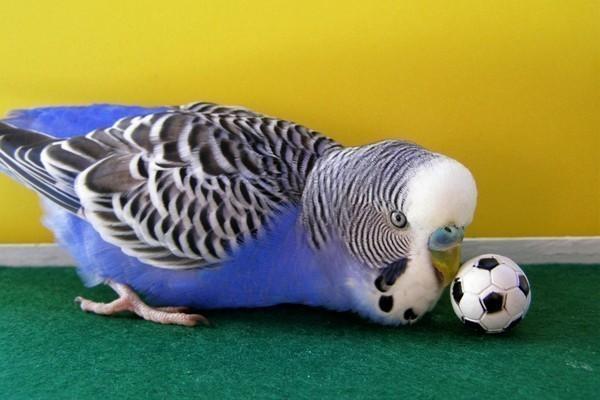 Попугай и мячик