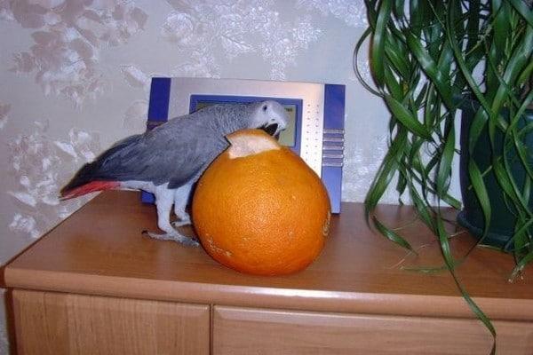 Попугай и апельсин