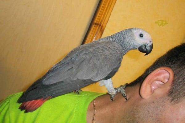 Говорящий серый попугай