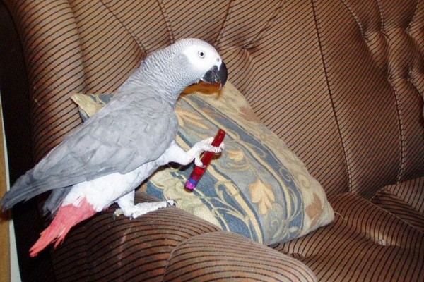 Попугай на диване