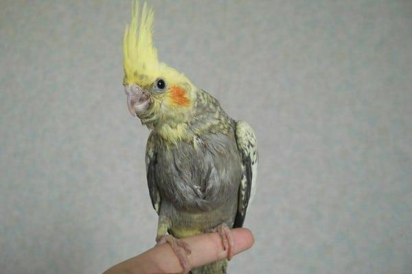 Линька у попугая корелла