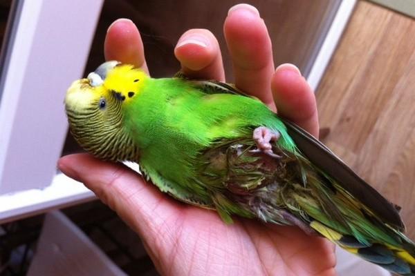 Больной попугай