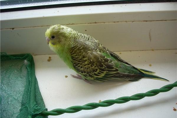 Обессиленный попугай