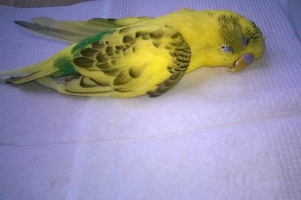 Умерший попугай