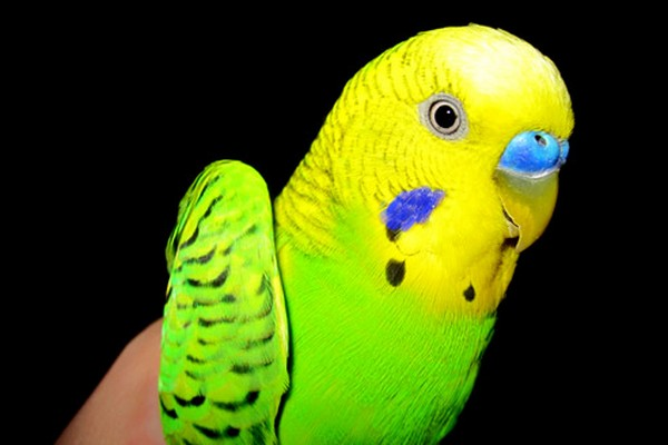 Попугай крупным планом
