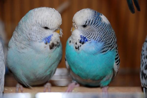 Пара голубых попугаев