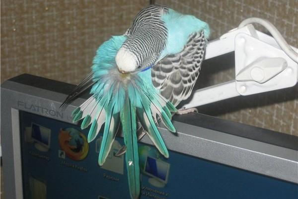 Блохи у попугая как вывести