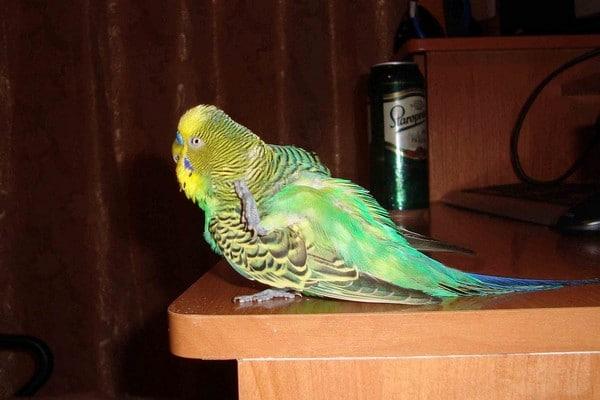 Попугай часто чешется