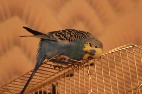 Попугай чешется о клетку