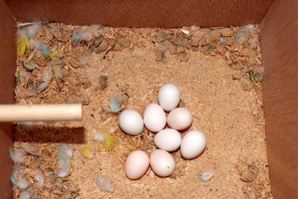 Внешний вид яиц