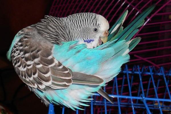 Появление блох у попугаев