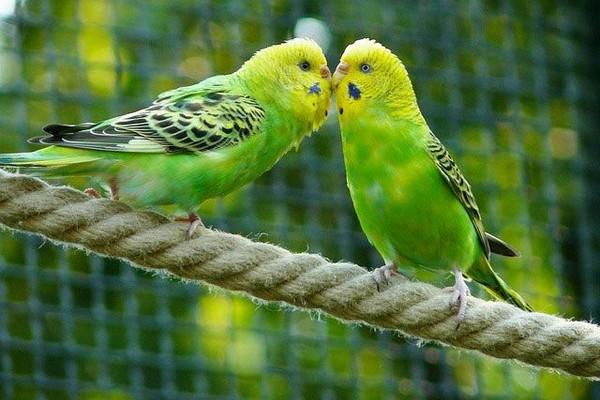 Зеленые волнистые попугаи