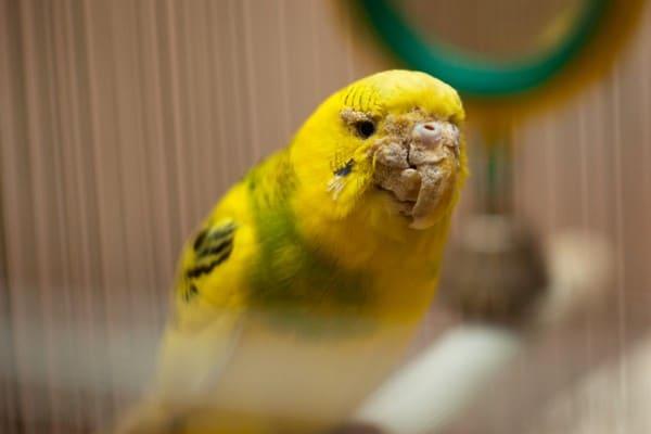Как узнать что у попугая клещи