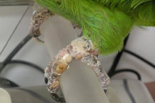 Лапки попугая