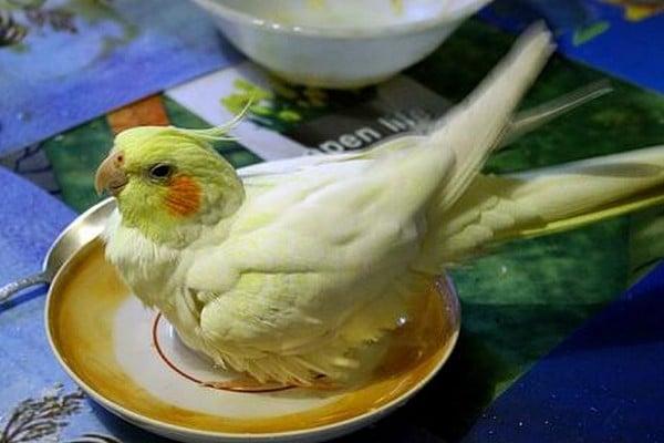Попугайчик и блюдце