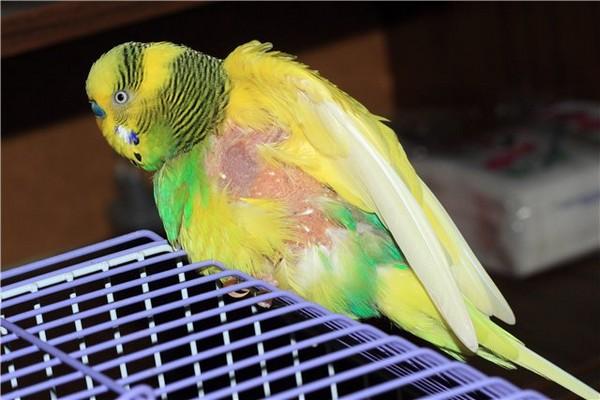 У попугая выпадают перья: что делать