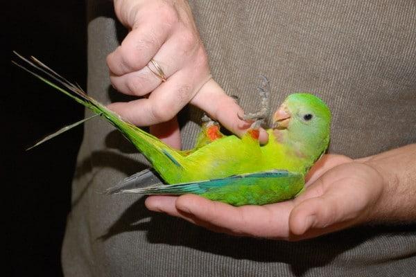 Ручная птичка