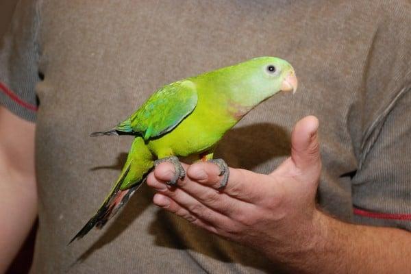 Ручной попугайчик