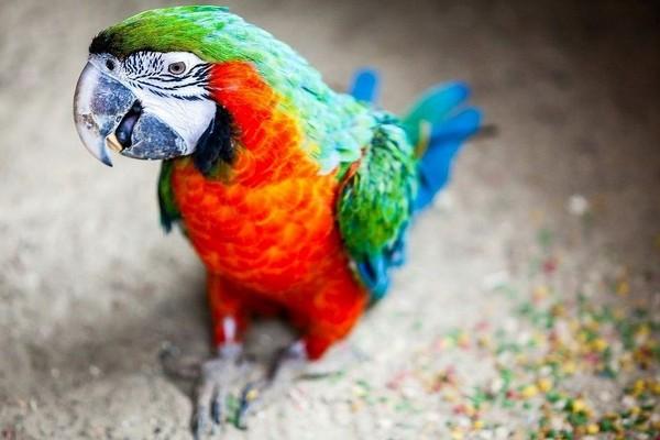 Гуляющий попугай