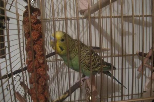 Лакомство для попугая