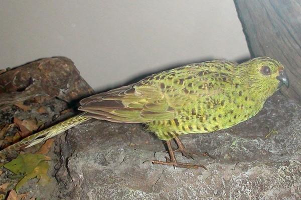 Ночной попугайчик