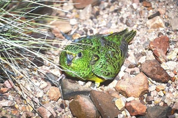 Скрытный попугайчик