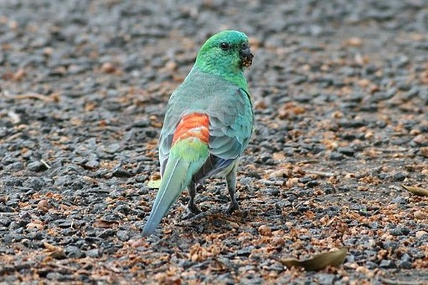 Бегающий по земле попугай