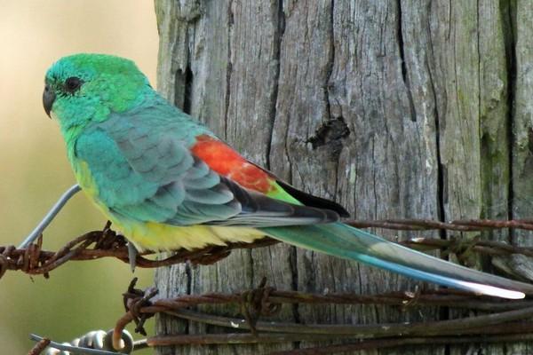 Попугайчик с приметной раскраской