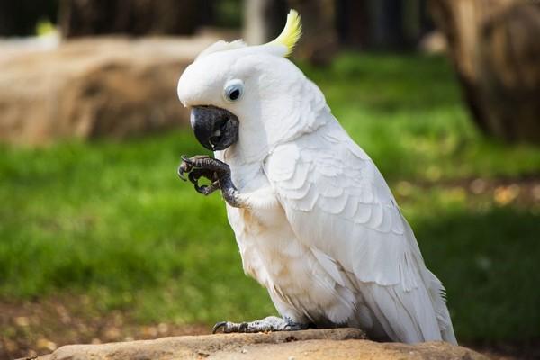 Белоснежный попугай