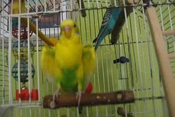 Попугай с желтым окрасом